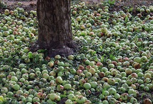 Iran launches major scheme to buy grade 3 apple from farmers